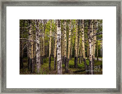 Aspen Trees Canadian Rockies Framed Print