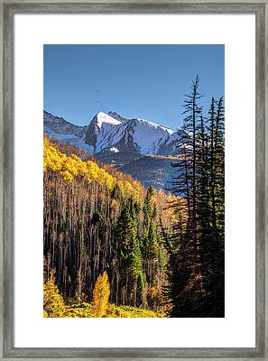 Aspens At Autumn Framed Print