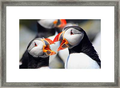 Atlantic Puffins Framed Print by John Burk