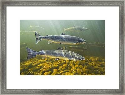 Atlantic Salmon Adults Migrate From Framed Print by Thomas Kitchin & Victoria Hurst