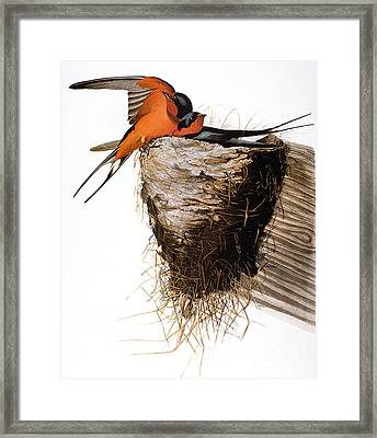 Audubon: Swallow Framed Print by Granger