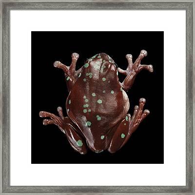 Australian Green Tree Frog, Or Litoria Caerulea Isolated Black Background Framed Print by Sergey Taran