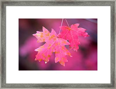 Autumn Color Maple Tree Leaves Framed Print by Panoramic Images