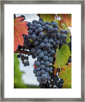 Autumn Grapes On The Vine Framed Print