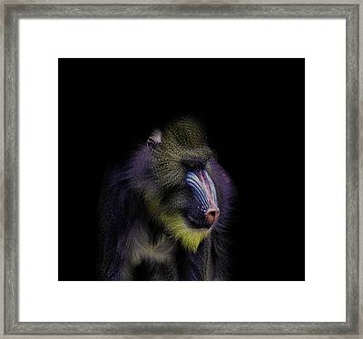 Baboon Portrait Framed Print