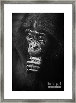 Baby Bonobo Portrait Framed Print