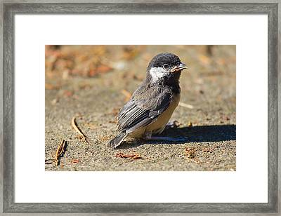 Baby Chickadee Framed Print by Naman Imagery