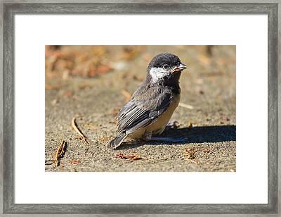 Baby Chickadee Framed Print