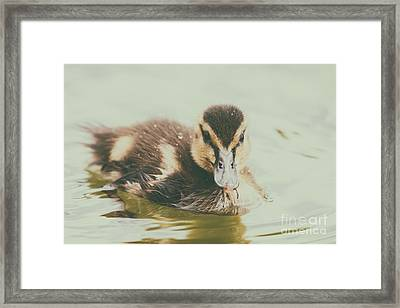 Baby Duck Bird Swimming On Water Framed Print by Radu Bercan