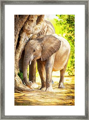 Baby Elephant In Africa Framed Print by Tim Hester
