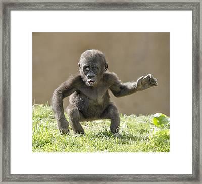 Baby Gorilla Framed Print
