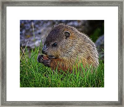 Baby Groundhog Eating Framed Print by Bob Orsillo
