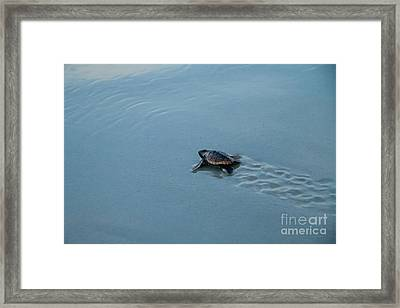 Baby Loggerhead Sea Turtle Framed Print by Dawna  Moore Photography