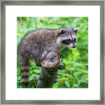 Framed Print featuring the photograph Baby Racoon by Paul Freidlund