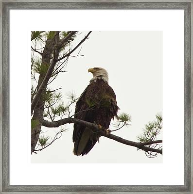 Bald Eagle  Framed Print by Daniel Hebard