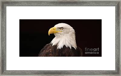 Bald Eagle Framed Print by David Warrington