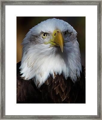 Bald Eagle Head Framed Print
