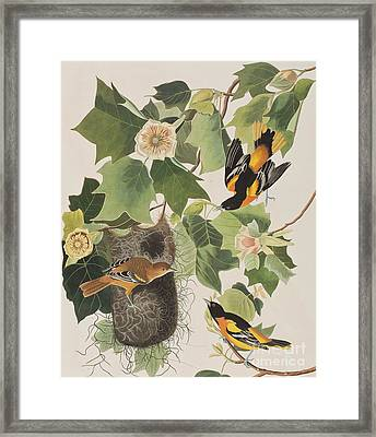 Baltimore Oriole Framed Print by John James Audubon