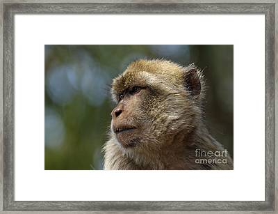 Barbary Macaque Looking Away In Annoyance Framed Print