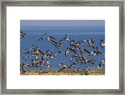 Barnacle Geese, Denmark Framed Print by Steen Drozd Lund