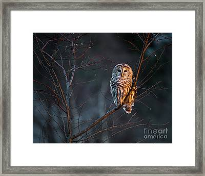 Barred Owl Framed Print by Benjamin Williamson