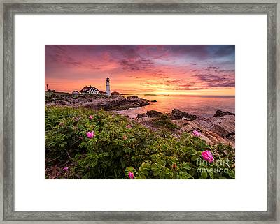 Beach Rose At Portland Head Light Framed Print by Benjamin Williamson