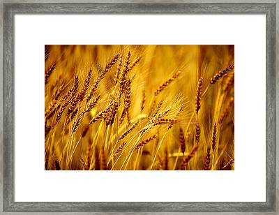 Bearded Barley Framed Print by Todd Klassy