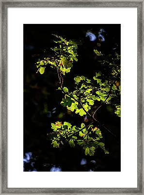 Beautiful Acorn Oak Tree In Forest Landscape With Dappled Sunlig Framed Print by Matthew Gibson