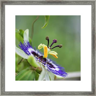 Beautiful Close Up Image Of Passion Flower On The Vine Framed Print