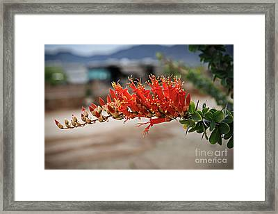 Framed Print featuring the photograph Beautiful Ocotillo by Robert Bales