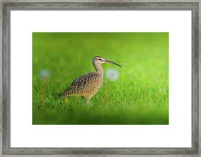 Beautiful Whimbrel  Shot It From Framed Print