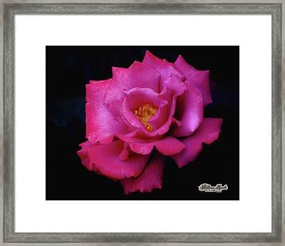 Beauty In A Rose Framed Print