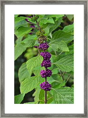 Beautyberry Framed Print