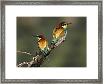 Bee-eater Framed Print by Perry Van Munster
