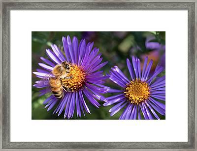 Bee Or Purple Flower Framed Print by Steve Konya II