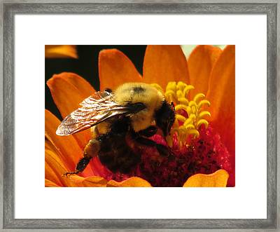 Bee With Zinnia Framed Print by Alfred Ng