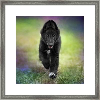 Belgian Sheepdog Puppy Framed Print