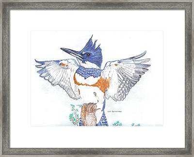Belted Kingfisher Framed Print by Don  Gallacher