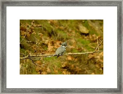 Belted Kingfisher Framed Print by Jeff Swan