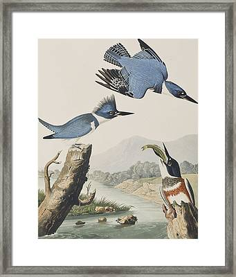 Belted Kingfisher Framed Print by John James Audubon
