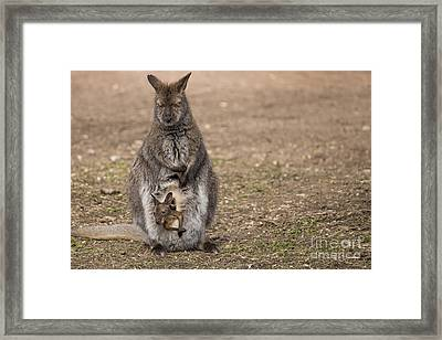 Bennett's Wallaby Framed Print by Twenty Two North Photography