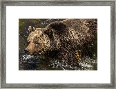 Beryl Springs Sow In The River Framed Print