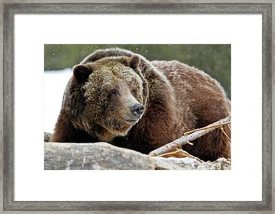 Beware Of Grizzly Framed Print by Athena Mckinzie