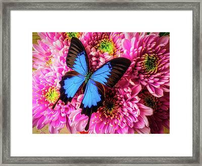 Big Blue Butterfly Framed Print