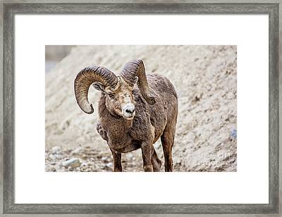 Big Horn Banff National Park Framed Print