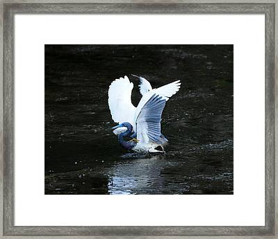 Bird Brawl Framed Print
