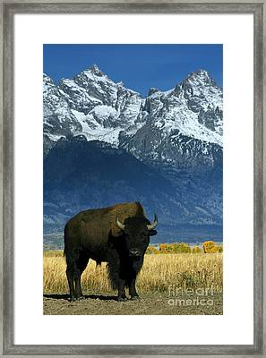 Bison In Grand Teton Framed Print by Jean-Louis Klein & Marie-Luce Hubert