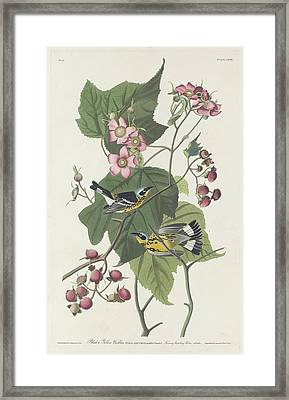 Black And Yellow Warbler Framed Print