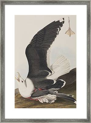 Black Backed Gull Framed Print by John James Audubon