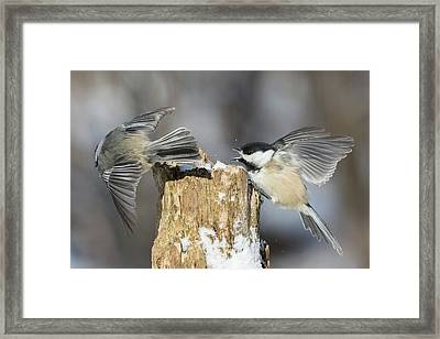 Framed Print featuring the photograph Black-capped Chickadee In Winter by Mircea Costina Photography